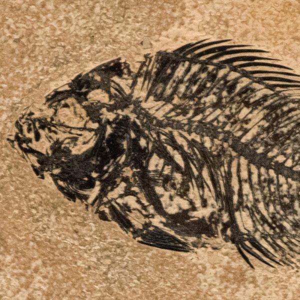 Fossil Tile (Honed) PL66_H132