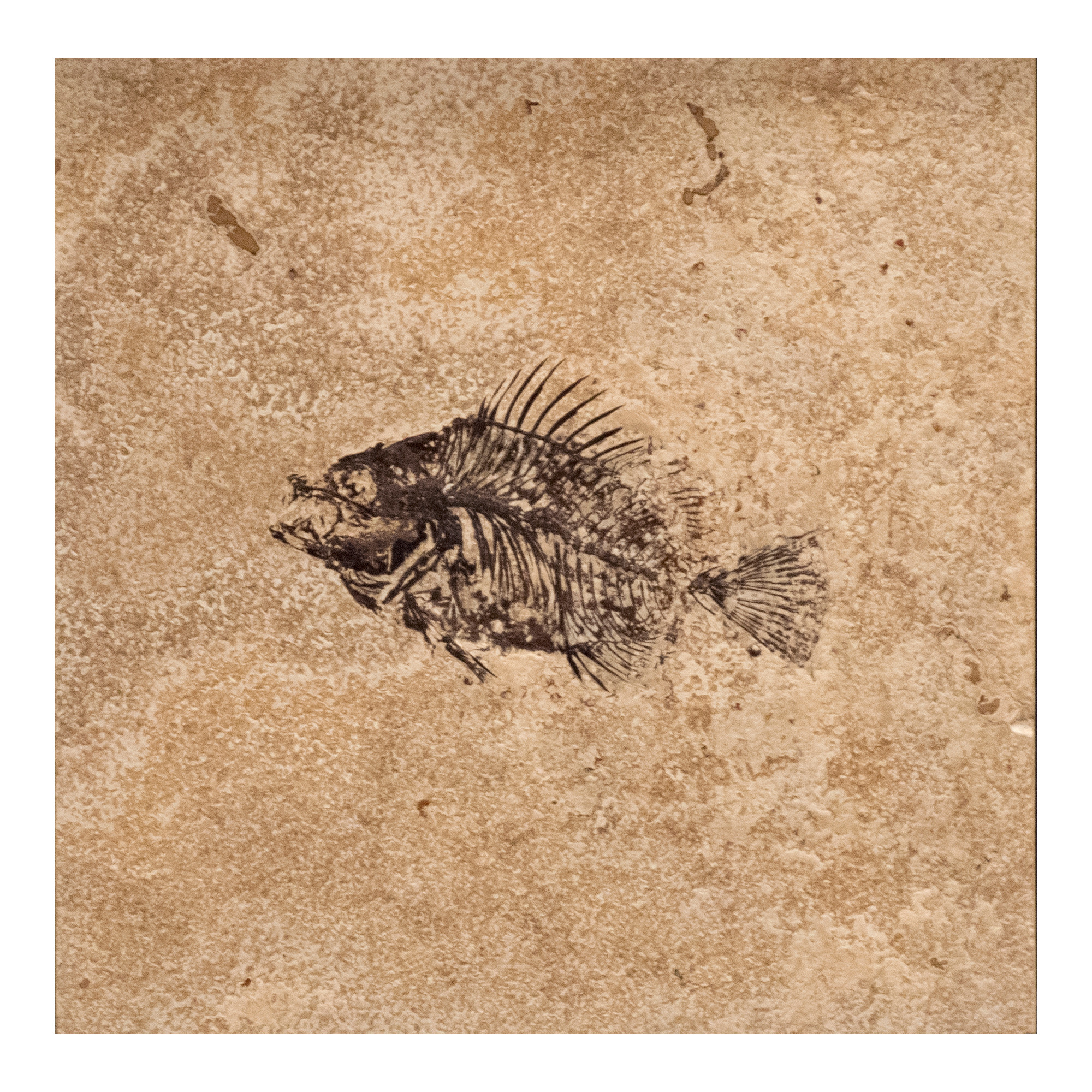 Fossil Tile (Honed) PL88_H111