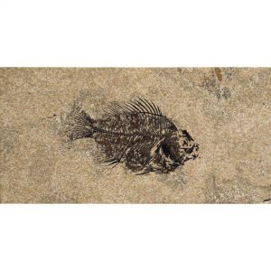 Fossil Tile (Honed) PR48_H113