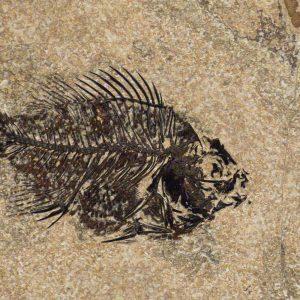 Fossil Tile (Honed) PR48_H113