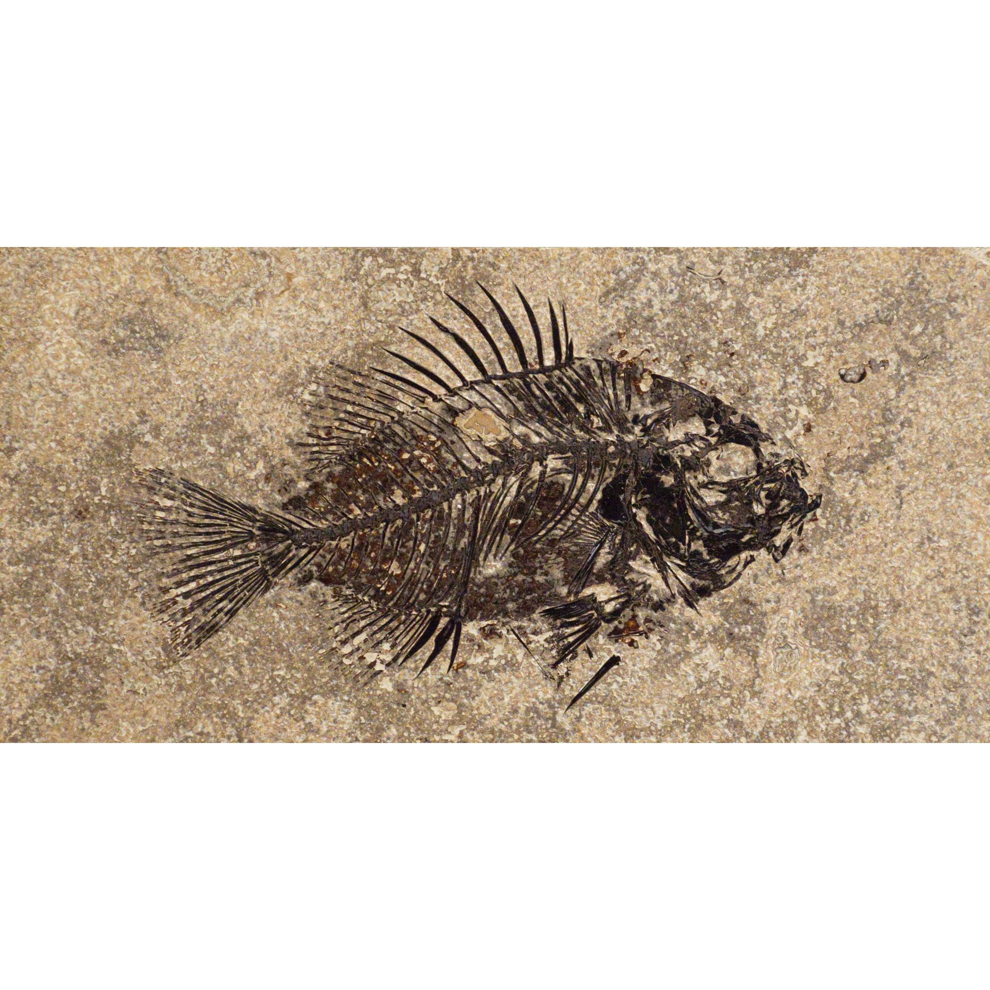 Fossil Tile (Honed) PR48_H115