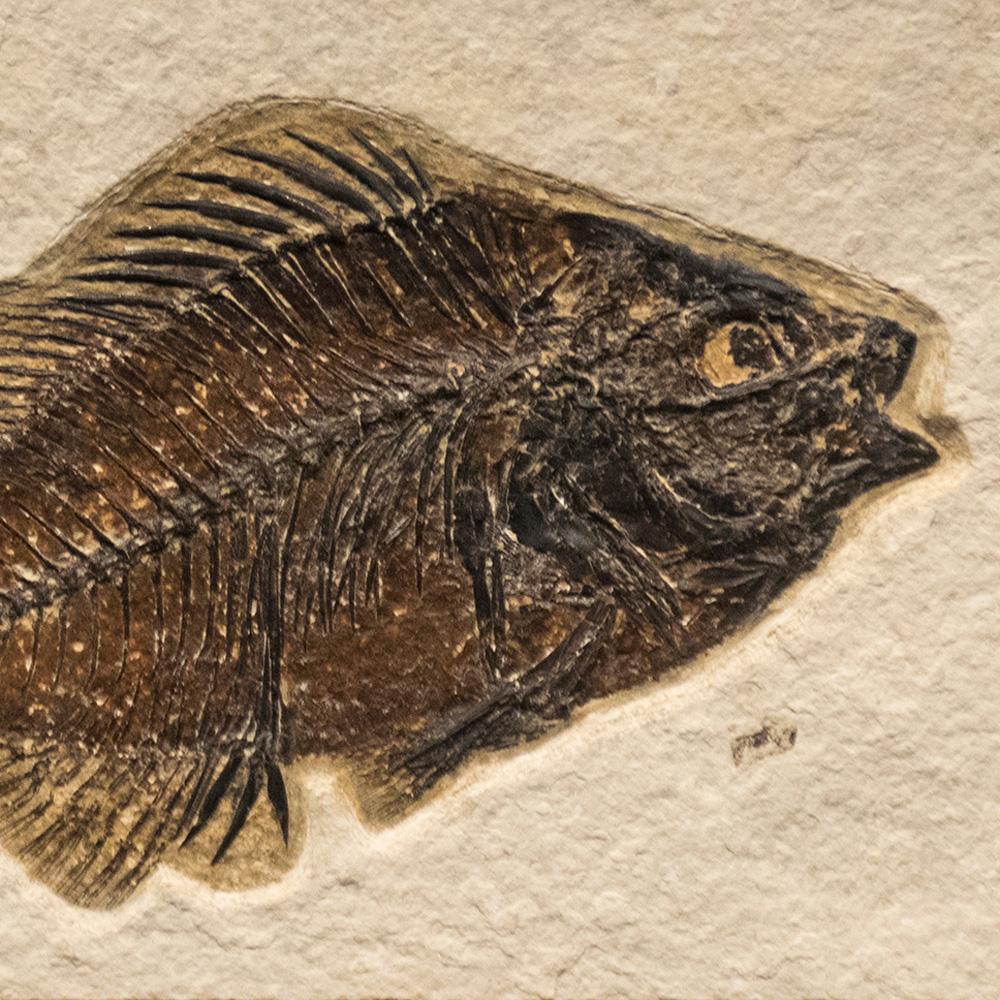 Fossil Tile (Natural) PR48_N211