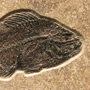 Fossil Tile (Combination) PR48_S115 3