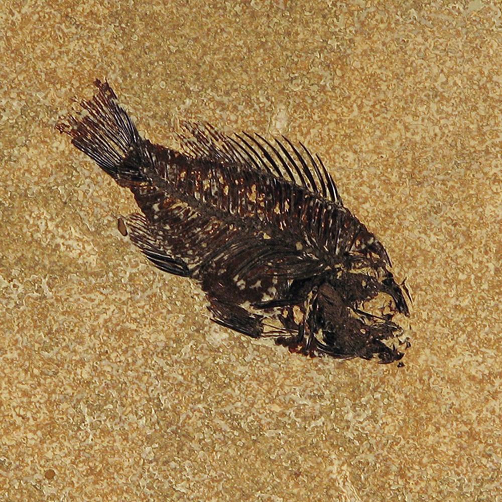 Fossil Tile (Honed) PR66_H053