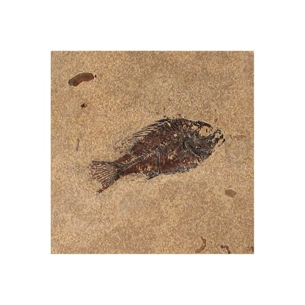 Fossil Tile (Honed) PR66_H131
