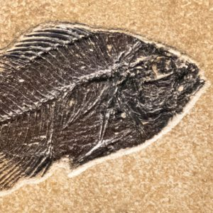 Fossil Tile (Combination) PR66_S213