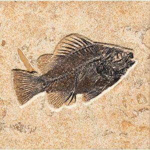 Fossil Tile (Combination) PR66_S214