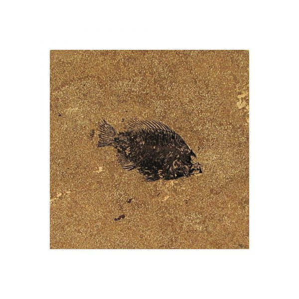 Fossil Tile (Honed) PR88_H062