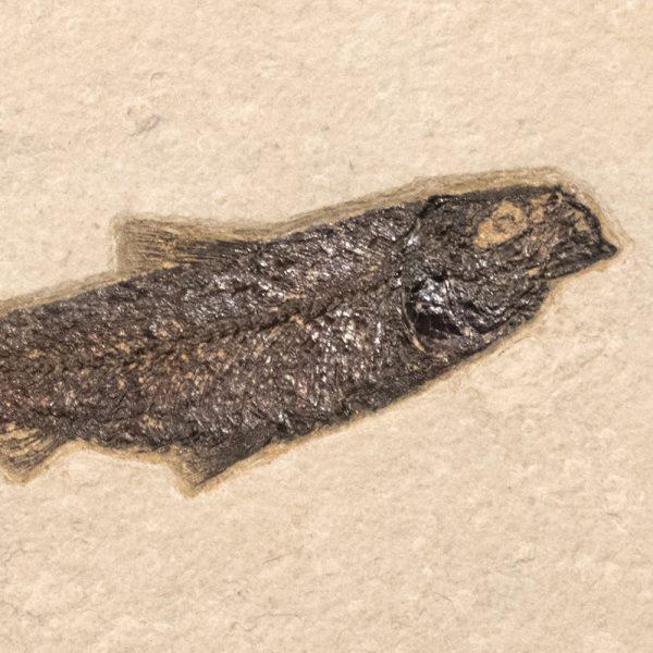 Fossil Tile (Natural) PR88_N208