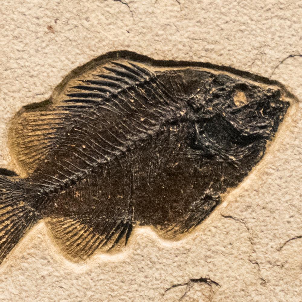 Fossil Tile (Natural) PR88_N240